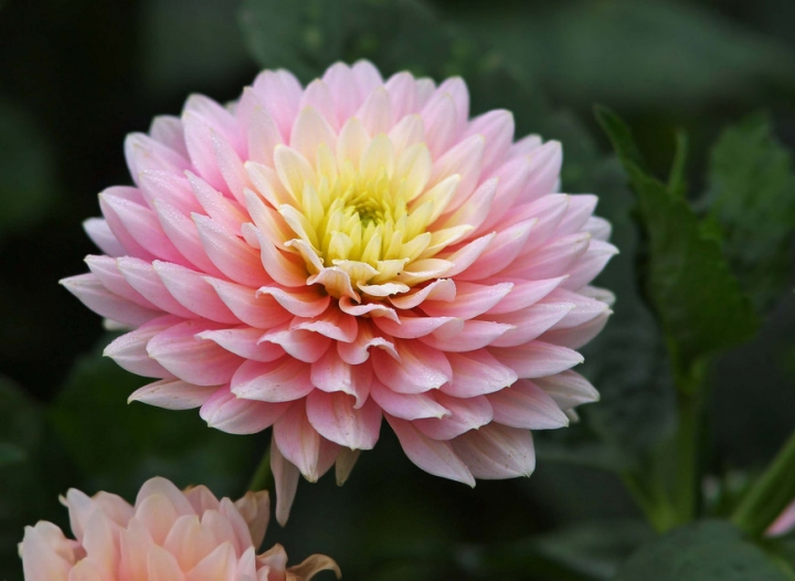 Chrysanthemum-Pink