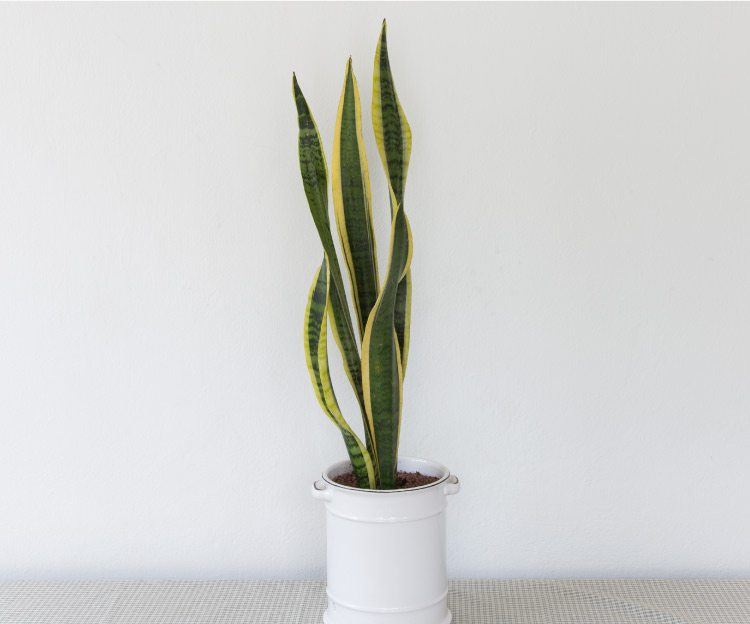 how-to-care-for-a-snake-plant
