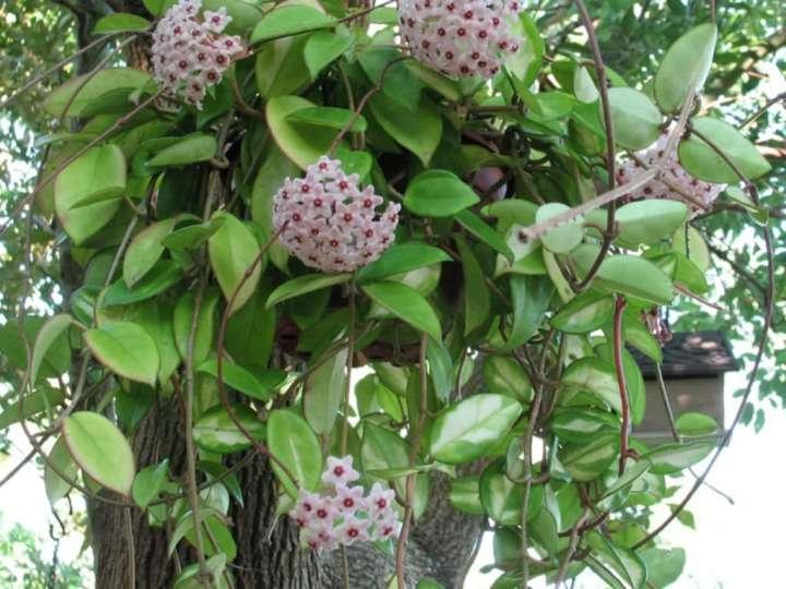 Hoya-carnosa-Wax-Plant2