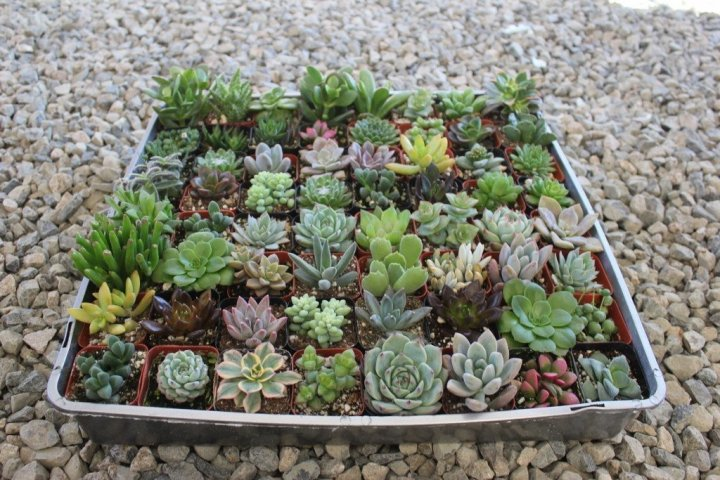 succulent-2-assorted-succulents-1_2000x.jpg